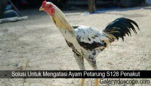 Solusi Untuk Mengatasi Ayam Petarung S128 Penakut