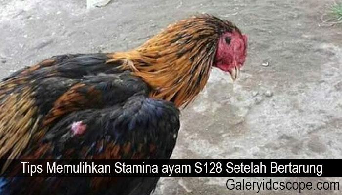 Tips Memulihkan Stamina ayam S128 Setelah Bertarung